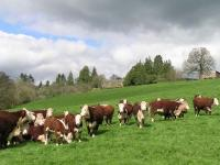 Llancillo Hall Herefords